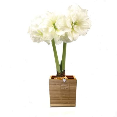 Double Blooming Alfresco Amaryllis in Bamboo Planter