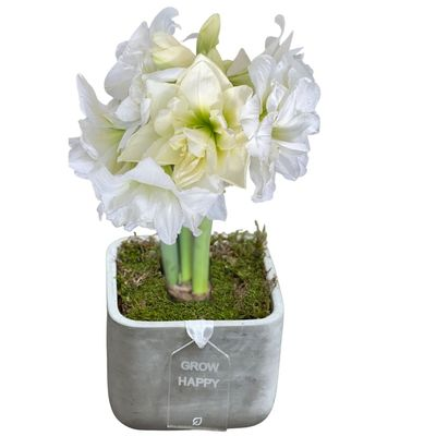Double Blooming Alfresco Amaryllis in Concrete Planter