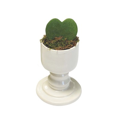Hoya Heart Succulent in Small Pedestal Planter