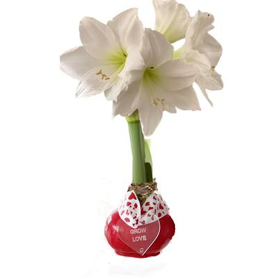Red Waxed Amaryllis Bulb with White Bloom and Grow Happy Tag